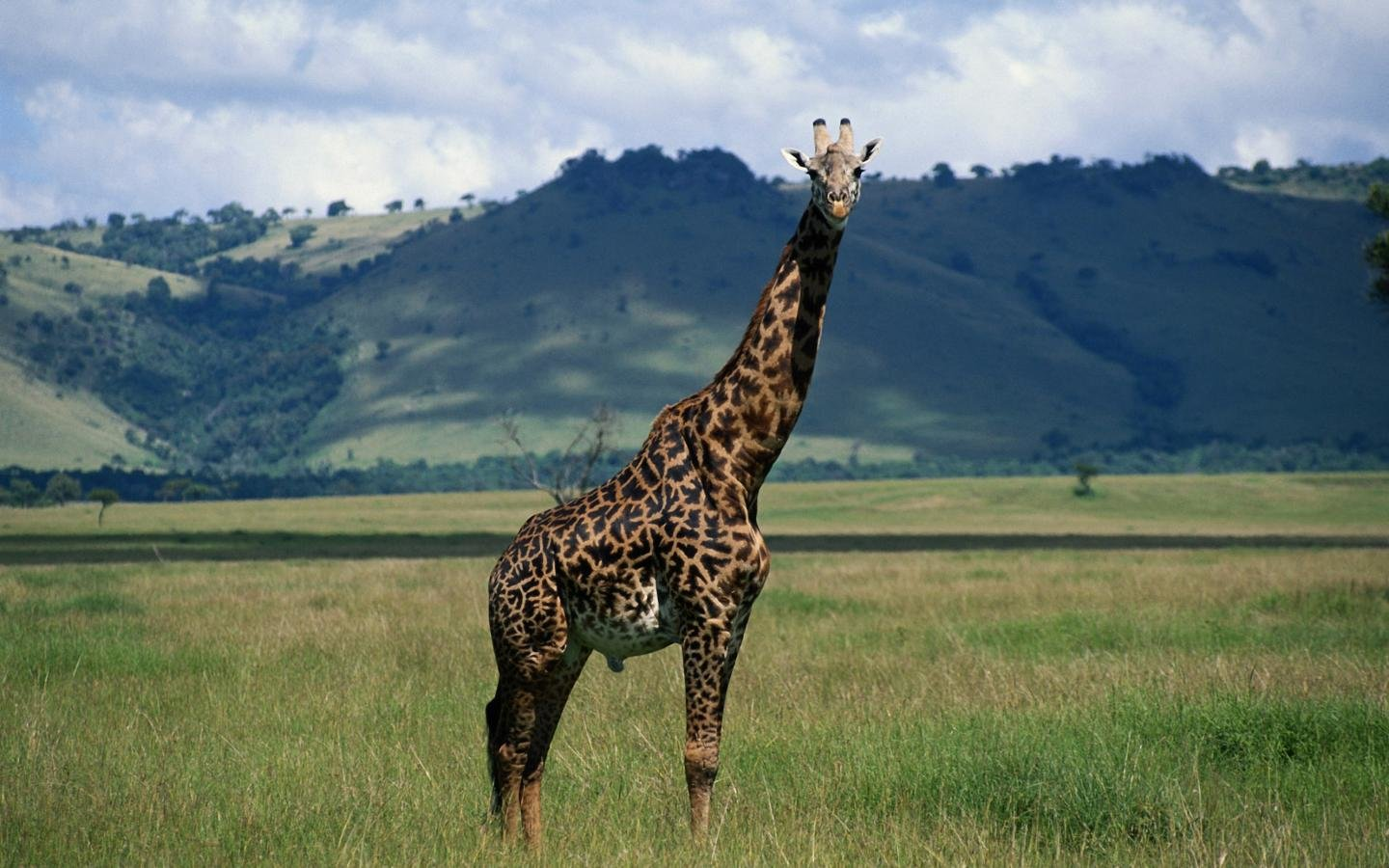 Free Giraffe high quality background ID:332608 for hd 1440x900 PC