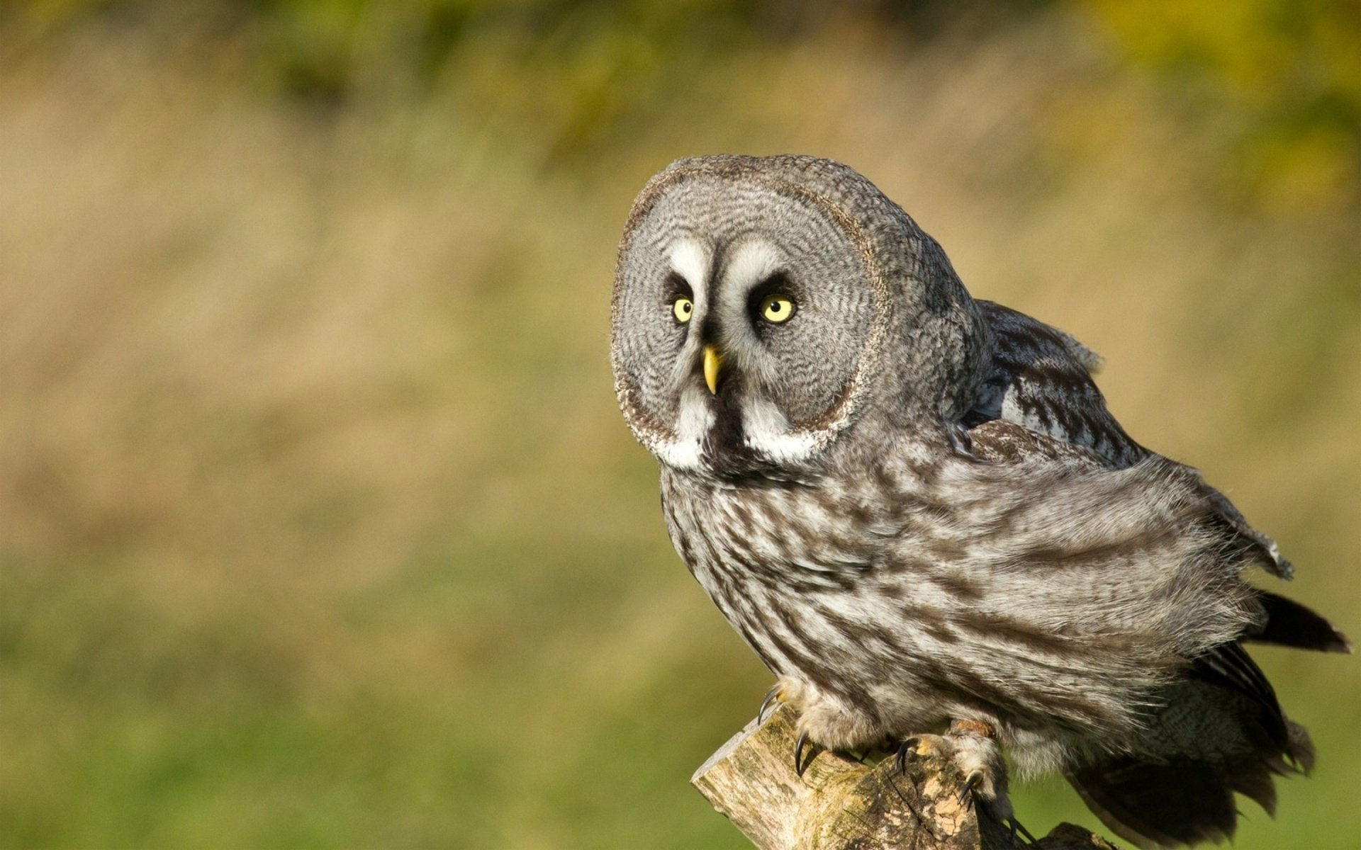 Download hd 1920x1200 Great Grey Owl PC background ID:235133 for free