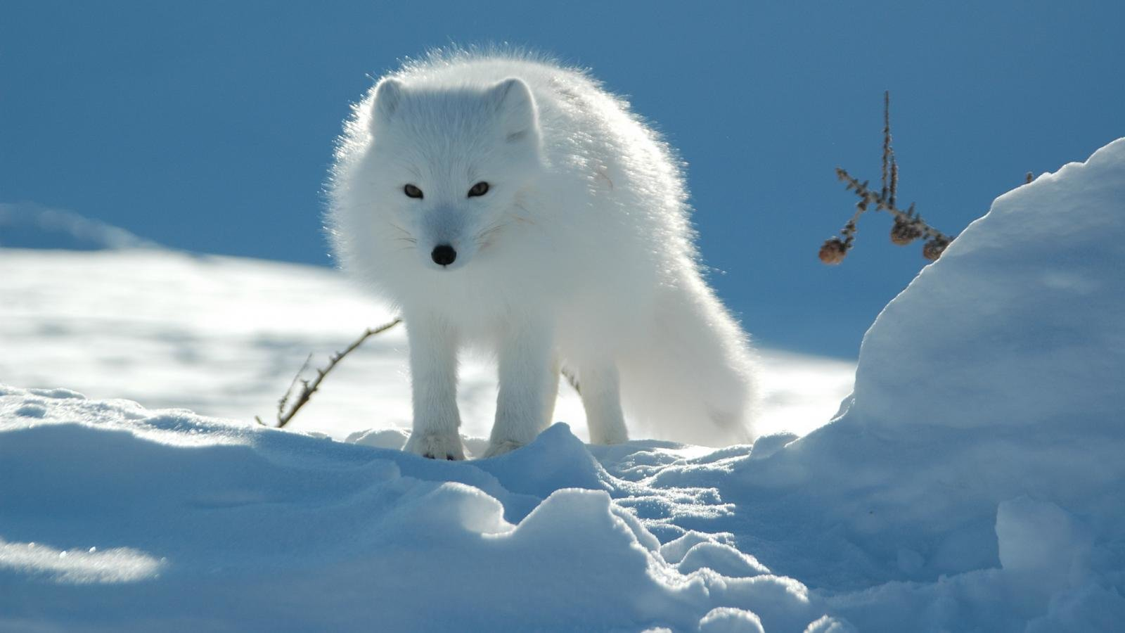 Free Arctic Fox high quality background ID:98750 for hd 1600x900 PC