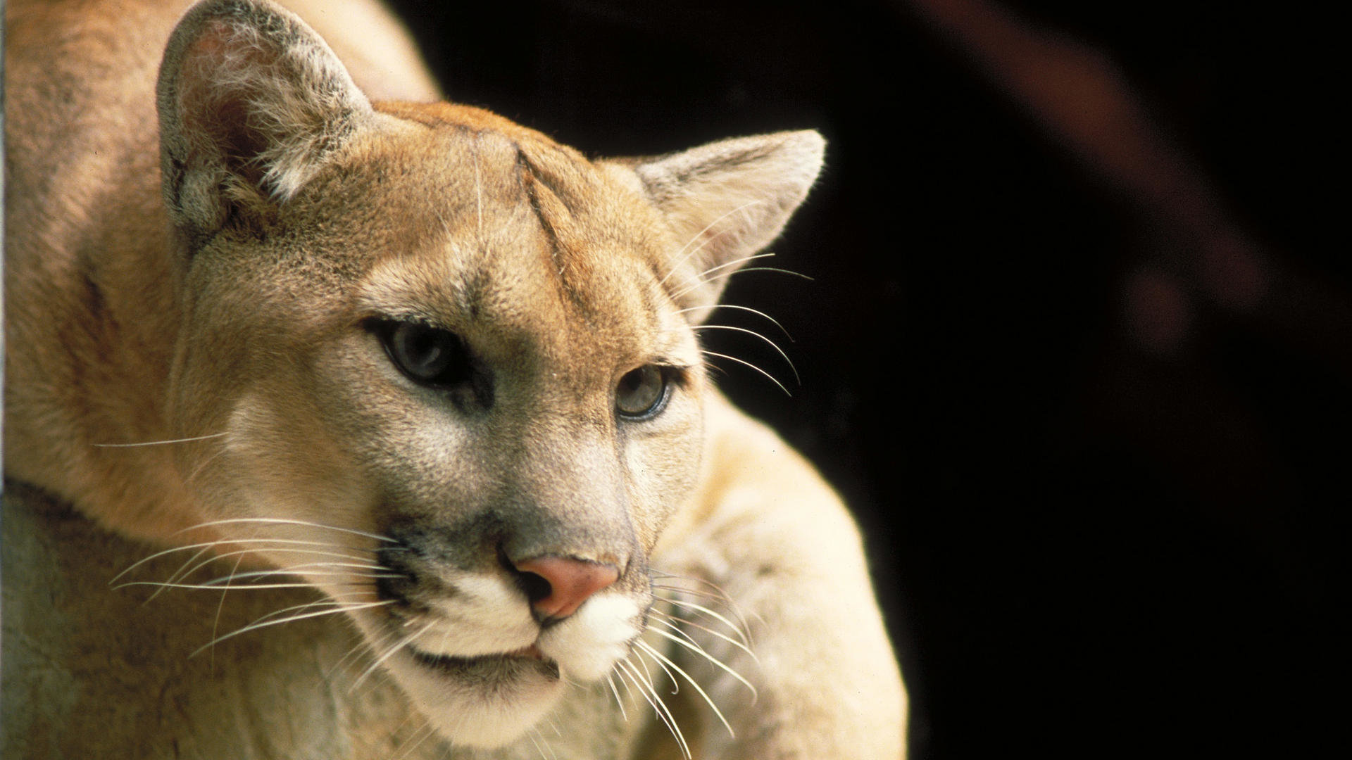Free Cougar high quality wallpaper ID:81790 for full hd PC