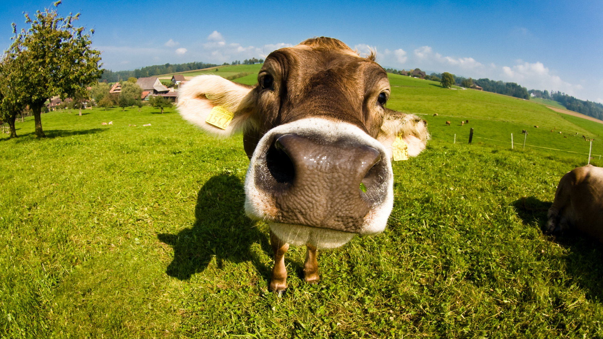Free Cow high quality wallpaper ID:466880 for full hd 1080p computer