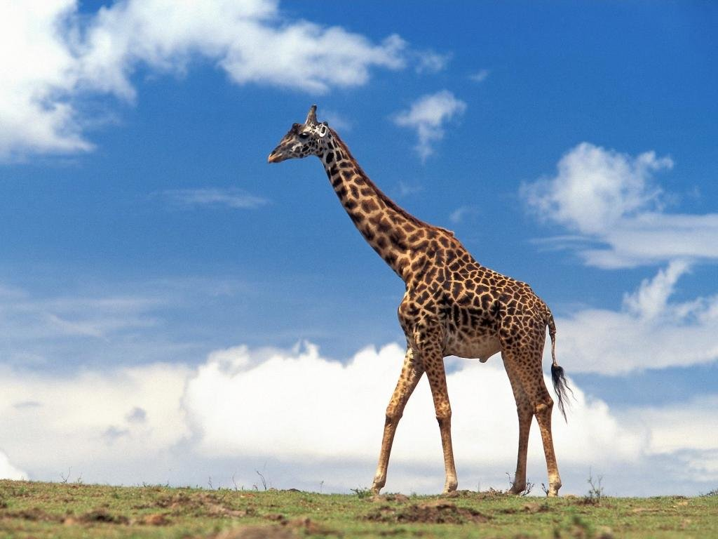 Free Giraffe high quality background ID:332606 for hd 1024x768 desktop
