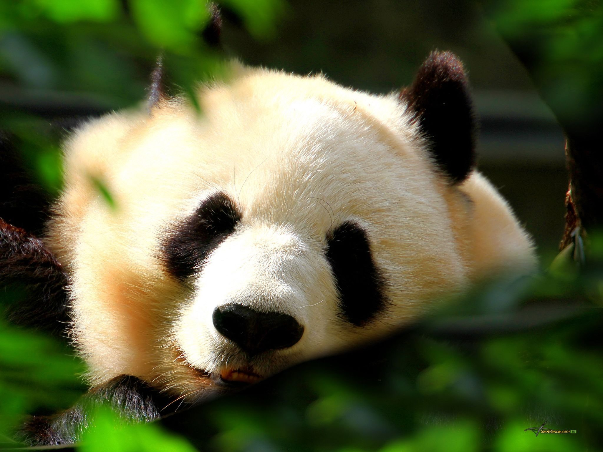 Awesome Panda free wallpaper ID:300449 for hd 2048x1536 PC
