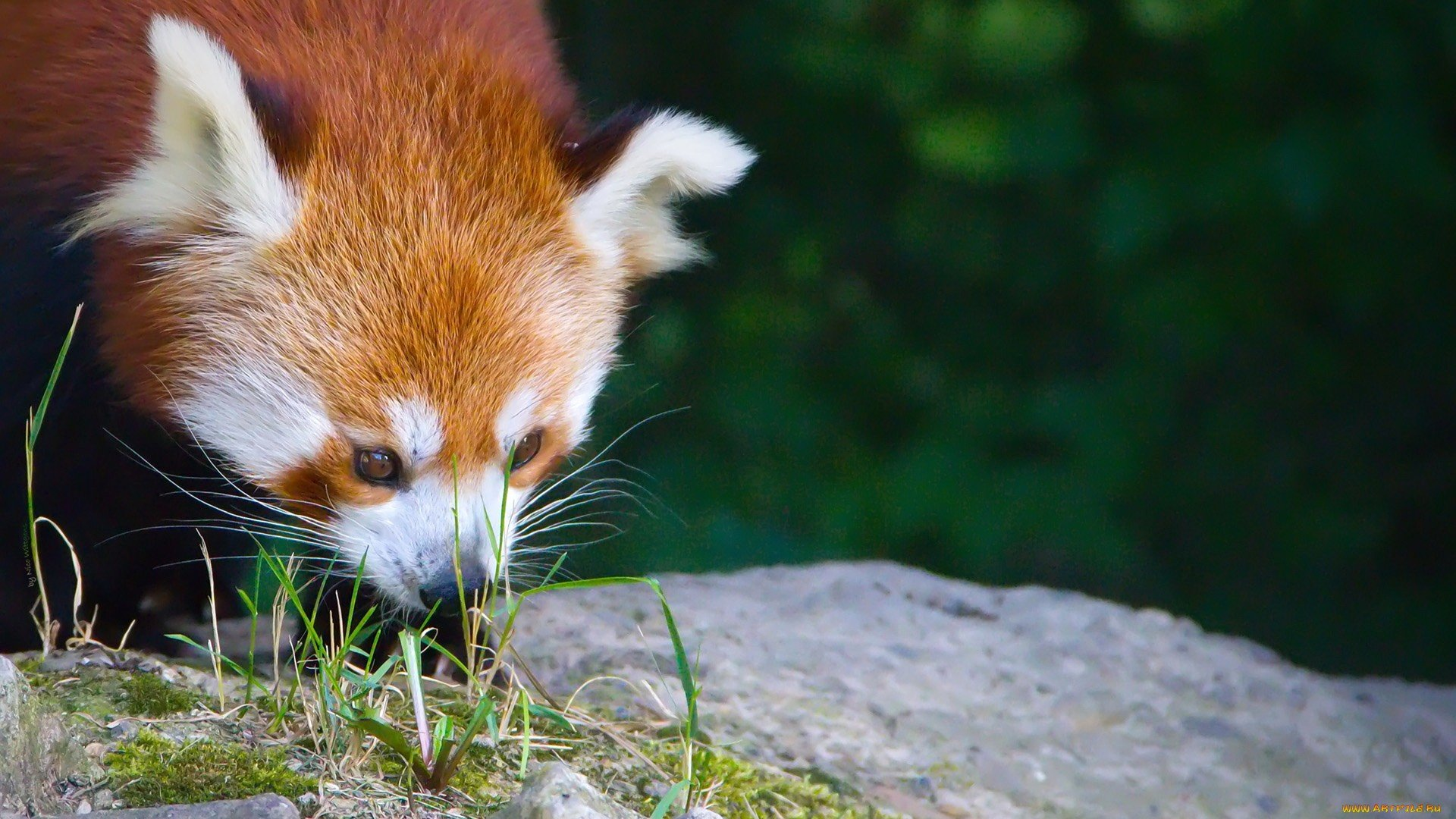High resolution Red Panda full hd 1080p background ID:64087 for PC