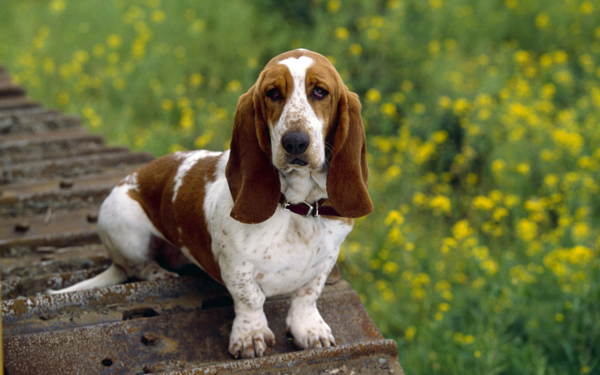 Free download Basset Hound wallpaper ID:214121 hd 1920x1200 for PC