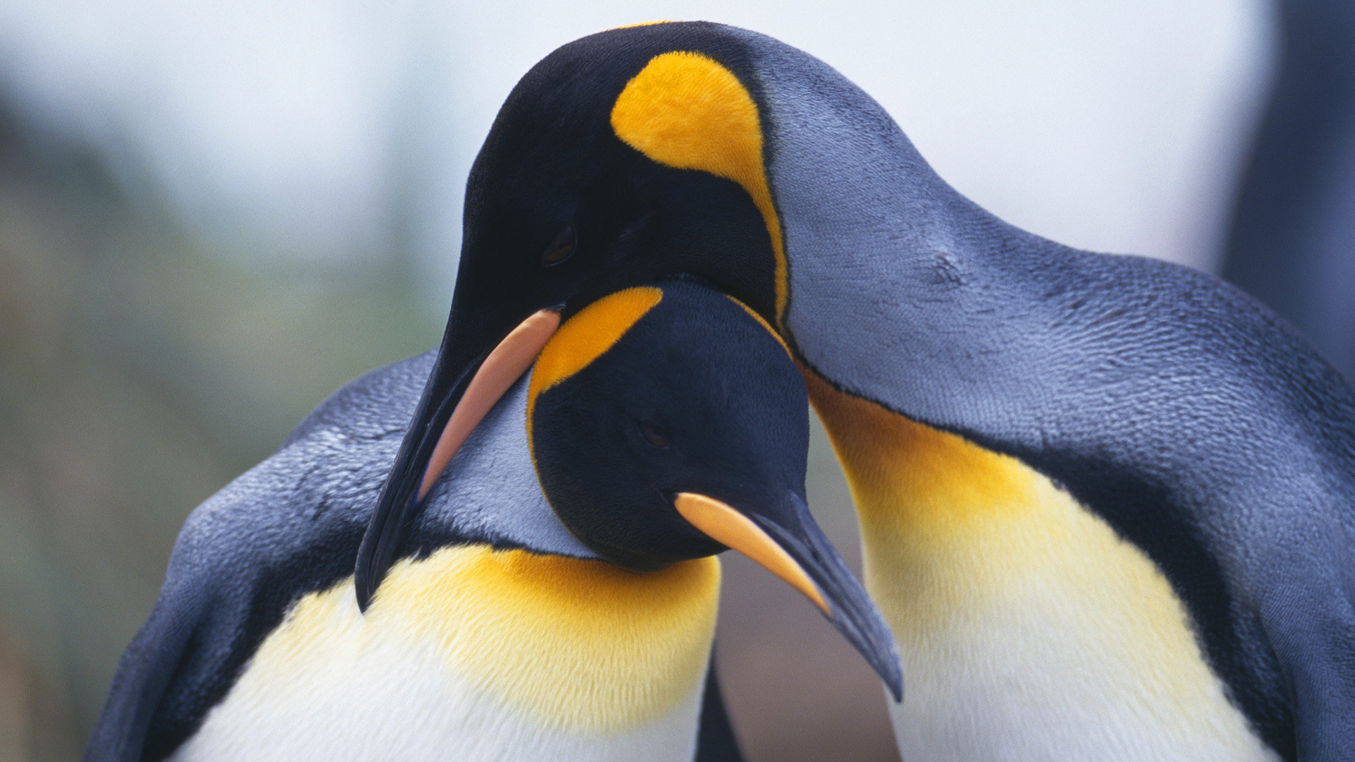Free download Emperor Penguin wallpaper ID:47930 hd 1920x1080 for desktop