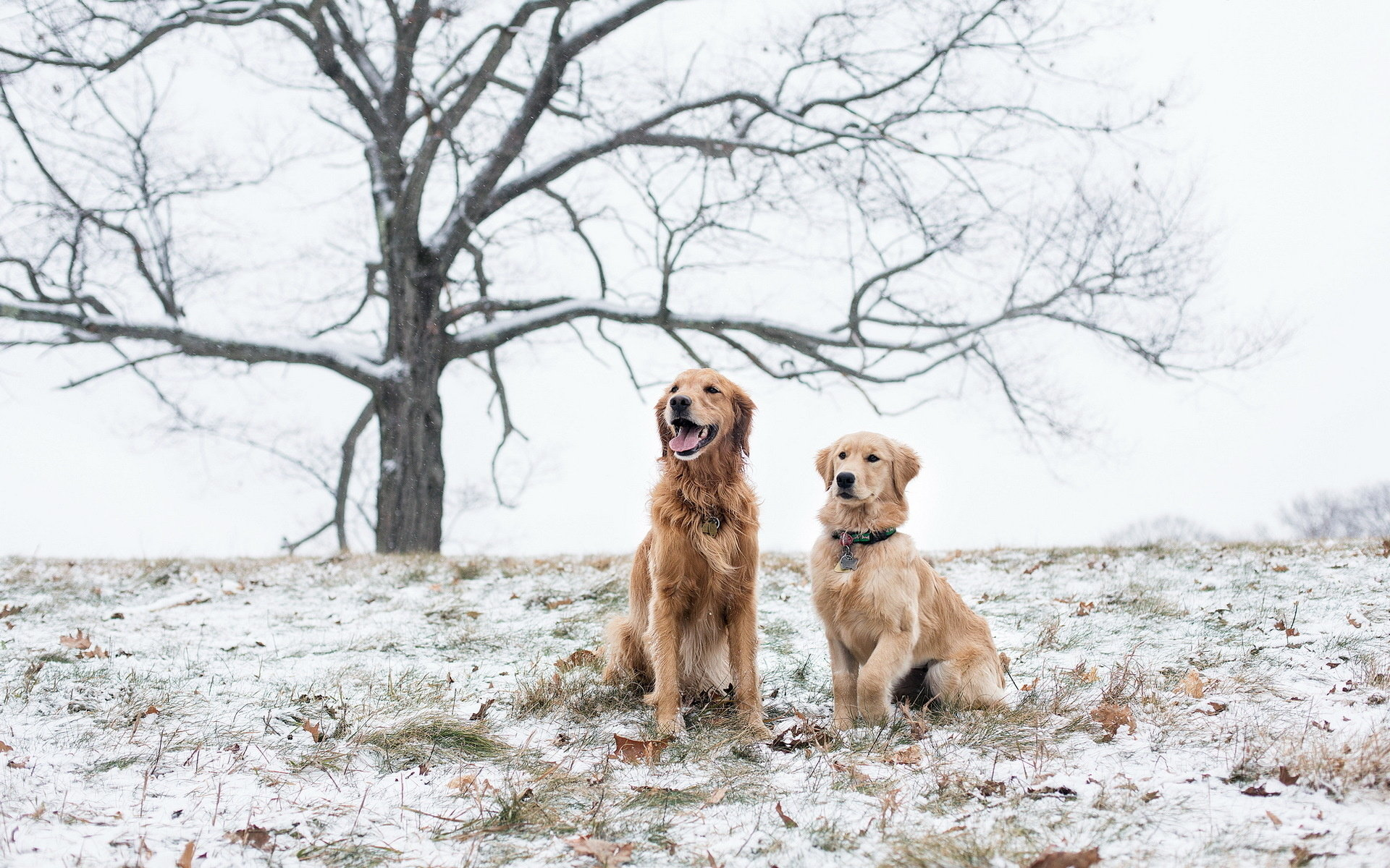 Best Golden Retriever Wallpaper Id 211820 For High Resolution Hd