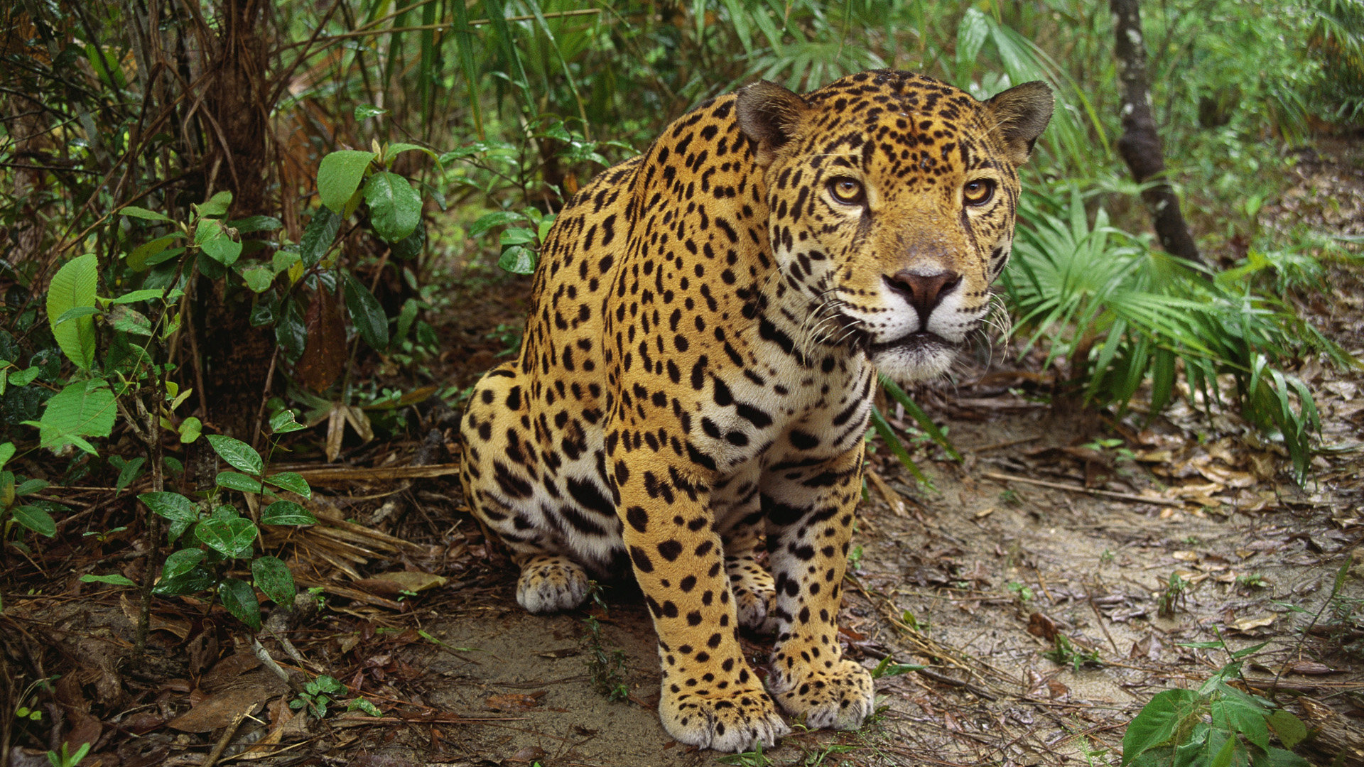 Awesome Leopard free wallpaper ID:447928 for full hd PC