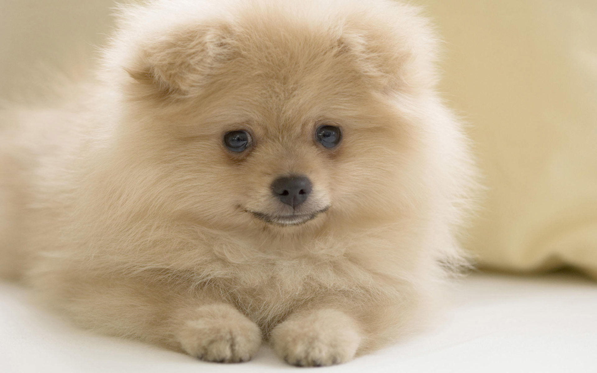 Free download Pomeranian wallpaper ID:184955 hd 1920x1200 for computer