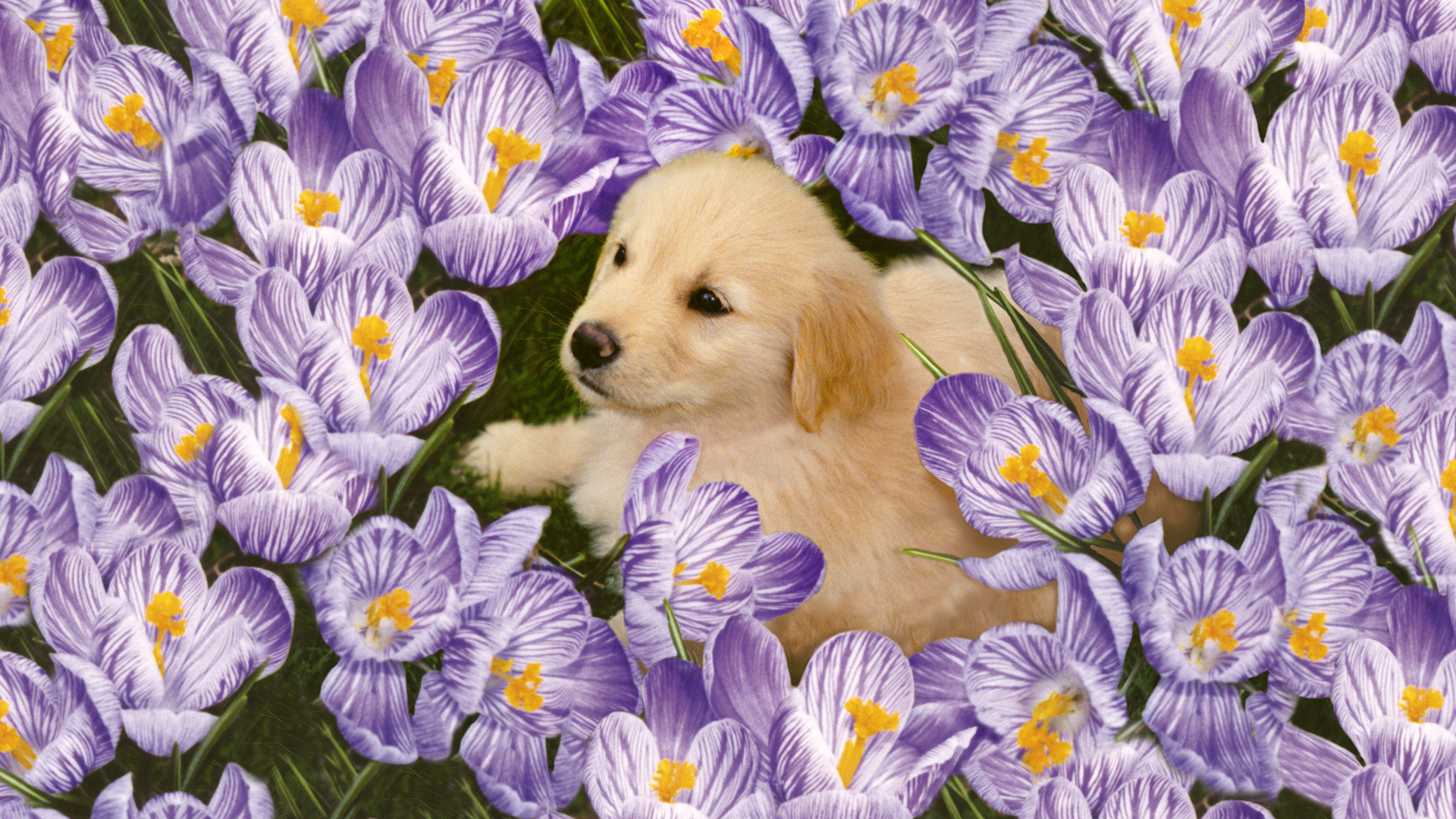 Download full hd Puppy PC background ID:46717 for free