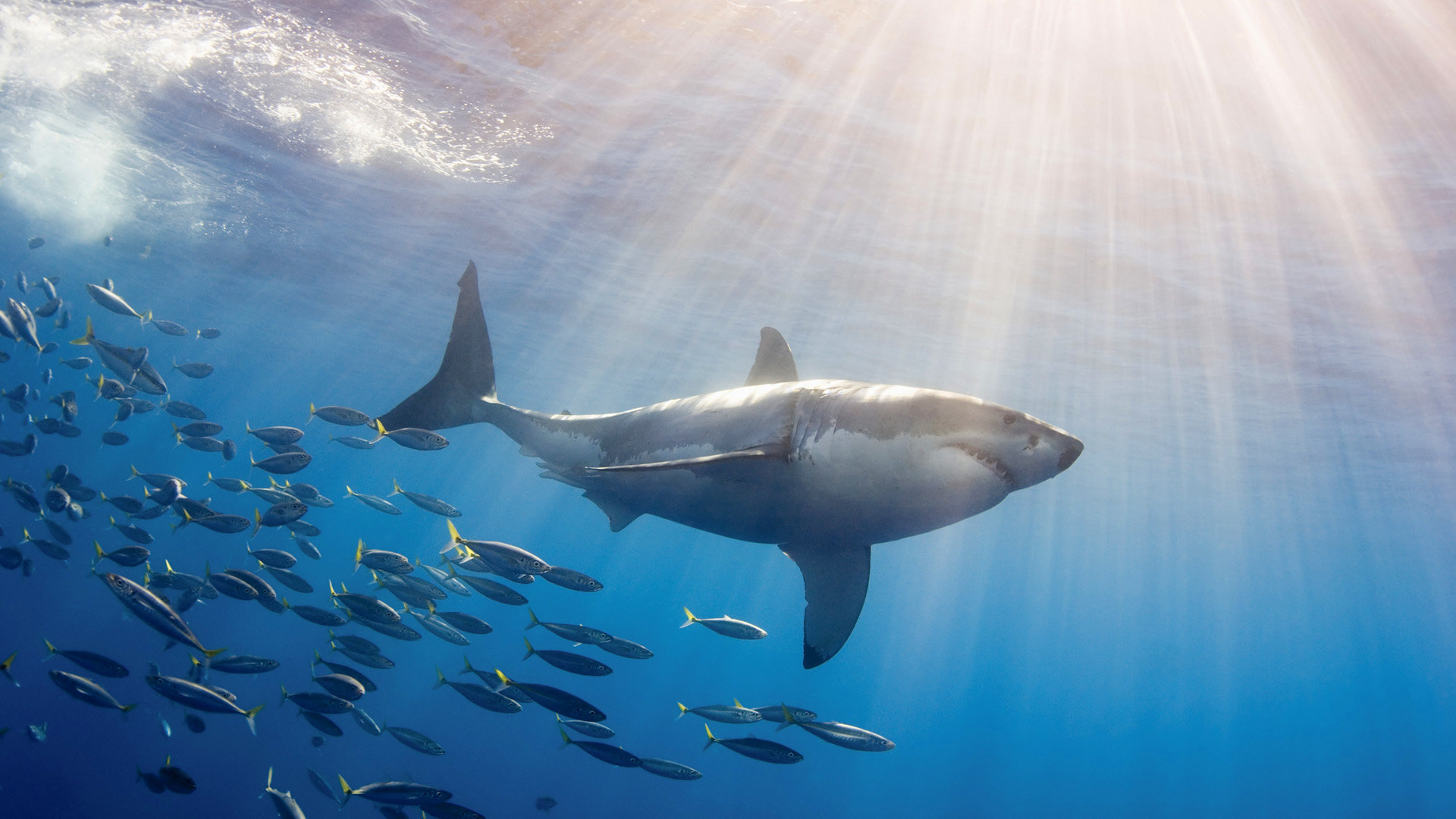Free Shark high quality background ID:180645 for 1080p desktop