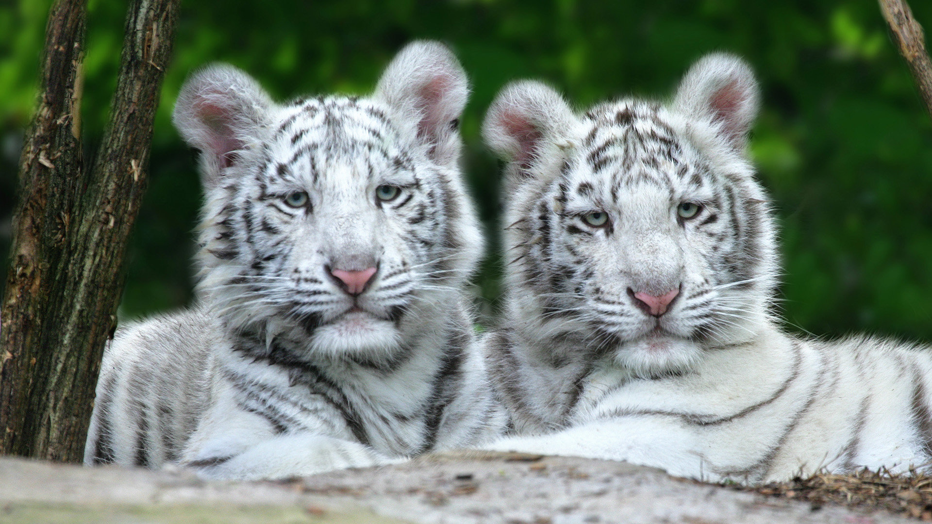 Awesome White Tiger free wallpaper ID:175024 for full hd computer