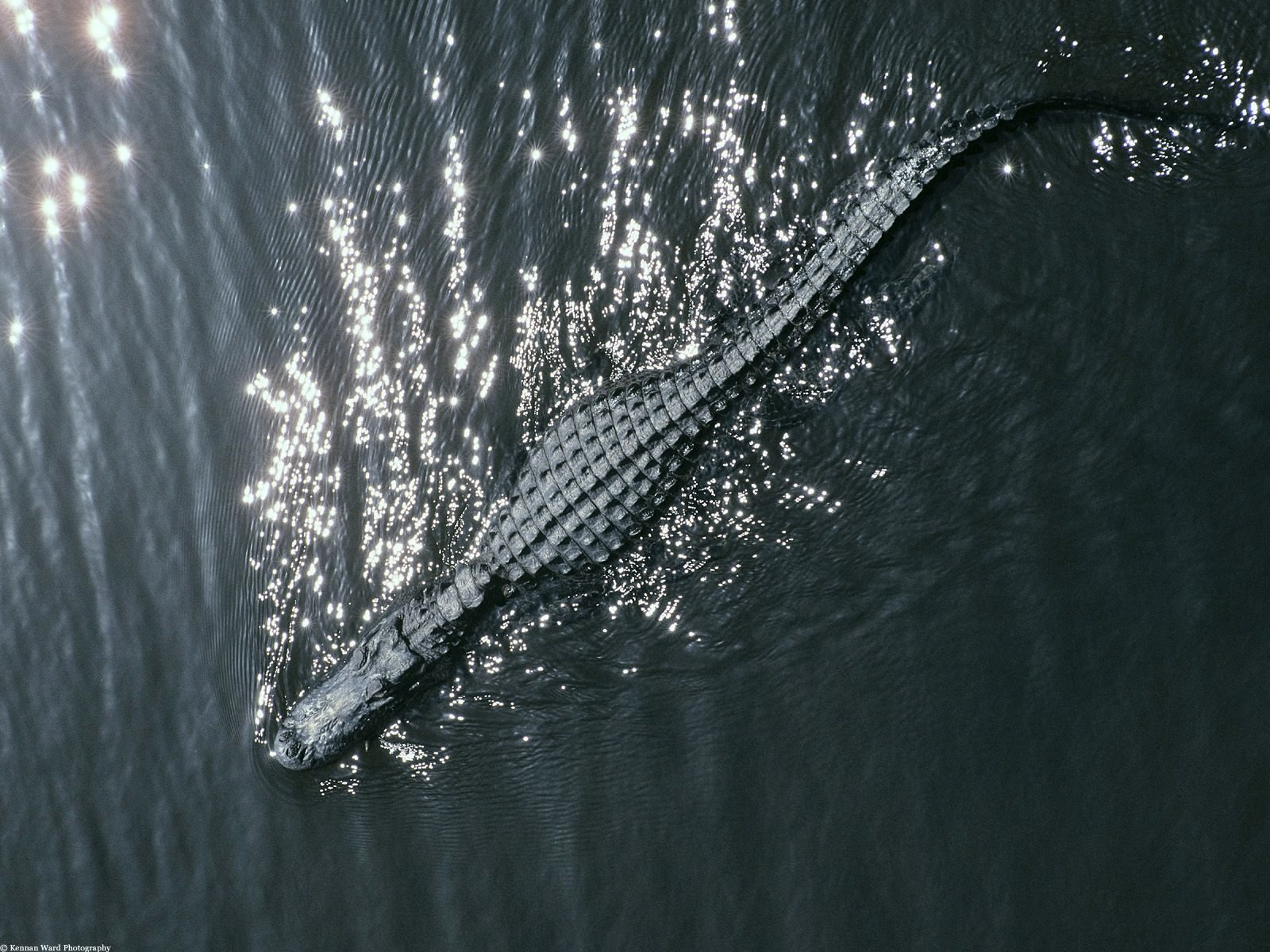 High resolution Alligator hd 1600x1200 background ID:59675 for desktop