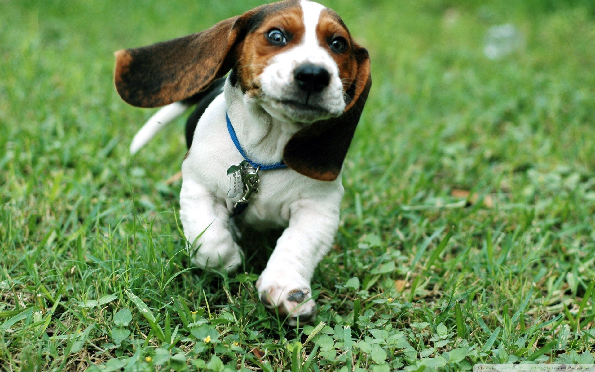 Free Basset Hound high quality wallpaper ID:214110 for hd 1920x1200 PC