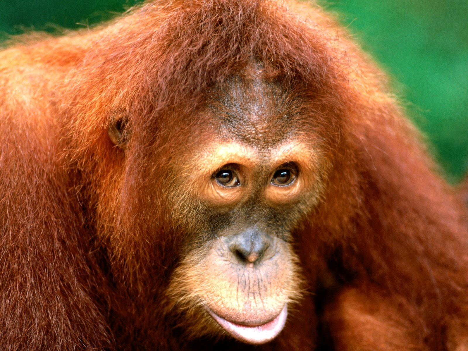 High resolution Orangutan hd 1600x1200 background ID:70083 for PC