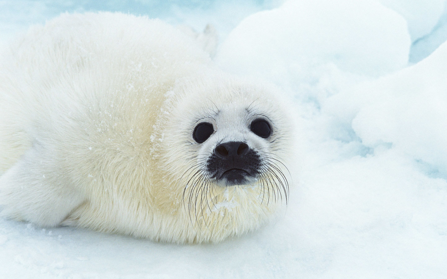Best Seal wallpaper ID:183327 for High Resolution hd 1440x900 computer