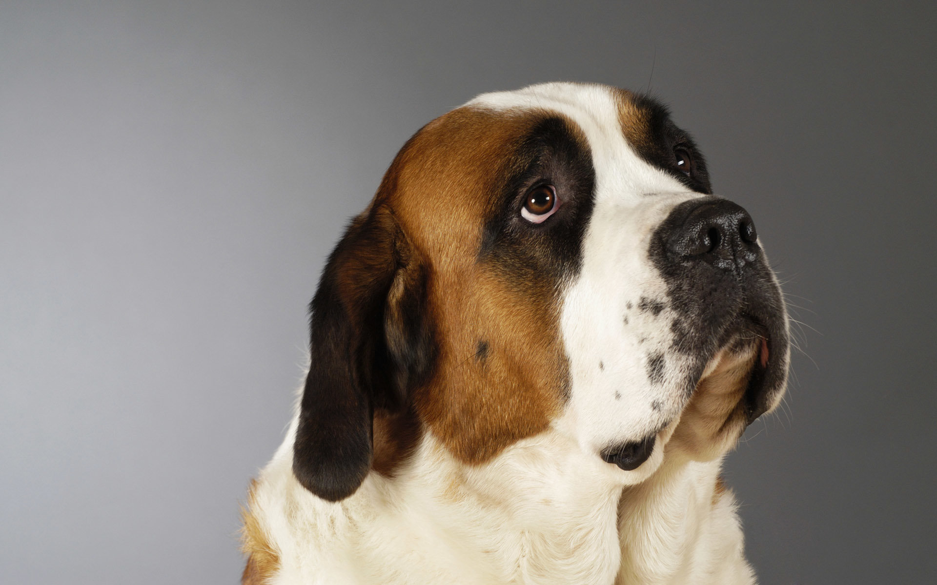 Free St. Bernard high quality background ID:198484 for hd 1920x1200 PC
