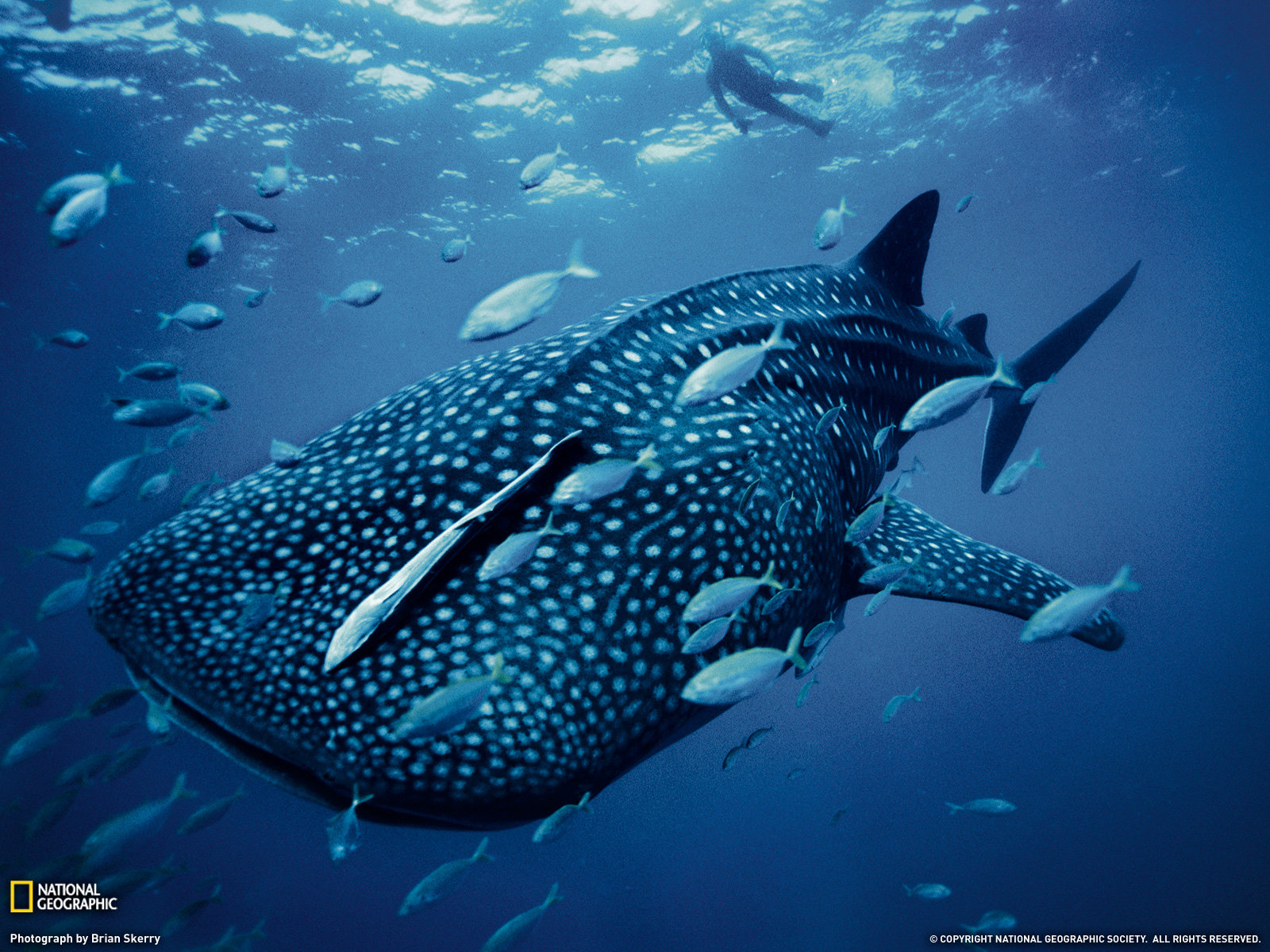 Best Whale Shark background ID:134819 for High Resolution hd 1600x1200 desktop
