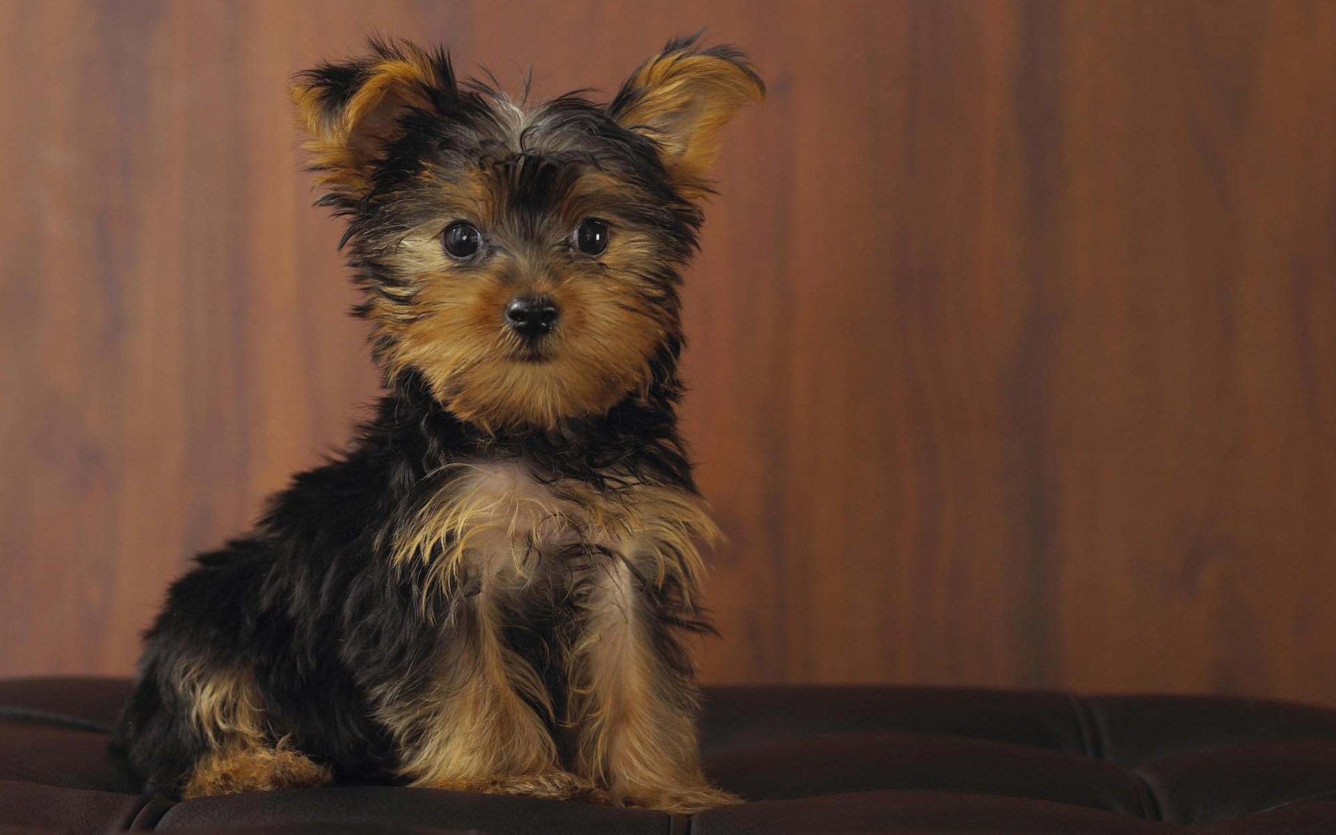 Awesome Yorkshire Terrier free wallpaper ID:110962 for hd 1920x1200 desktop