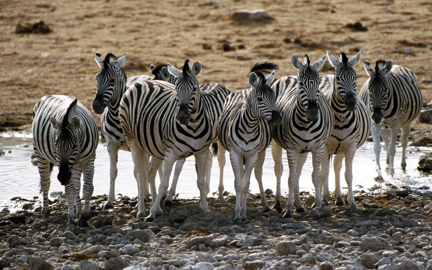 High resolution Zebra hd 1440x900 background ID:73790 for PC