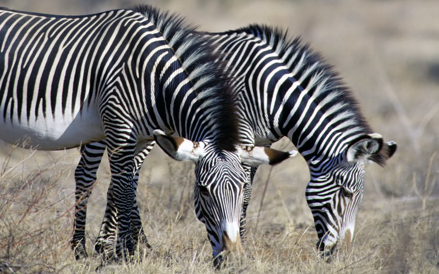 Awesome Zebra free wallpaper ID:73814 for hd 1440x900 PC