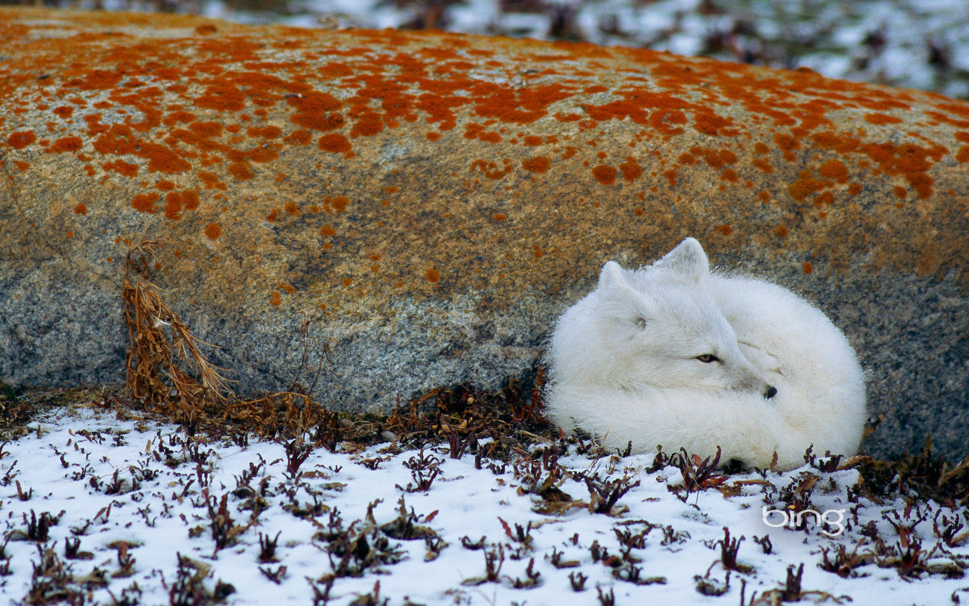 Free Arctic Fox high quality background ID:98769 for hd 1920x1200 desktop