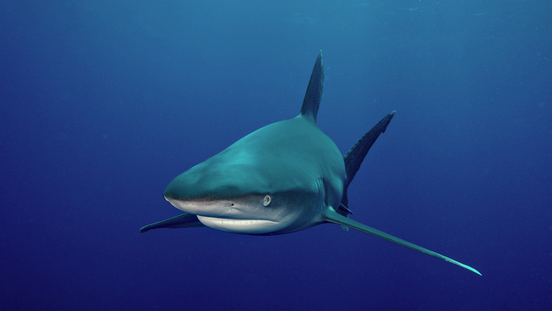 High resolution Shark 1080p wallpaper ID:180611 for PC