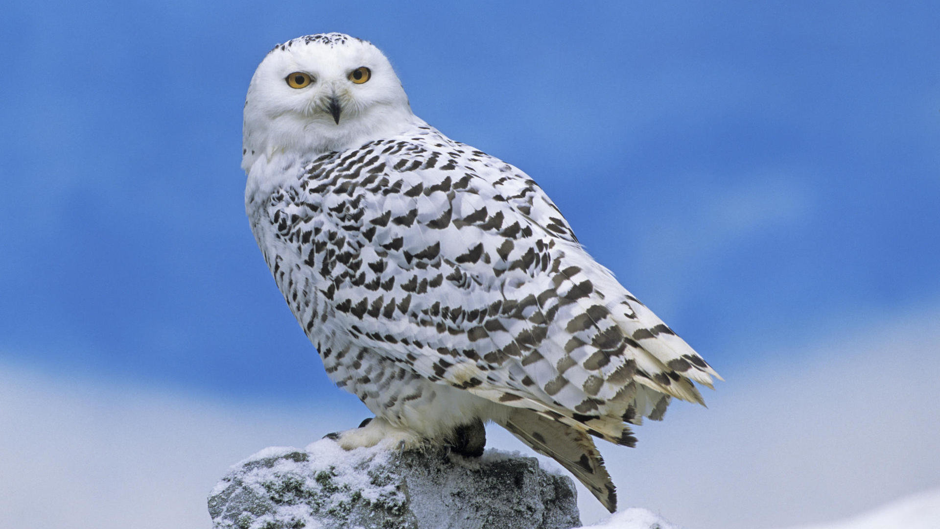 High resolution Snowy Owl 1080p background ID:26811 for PC