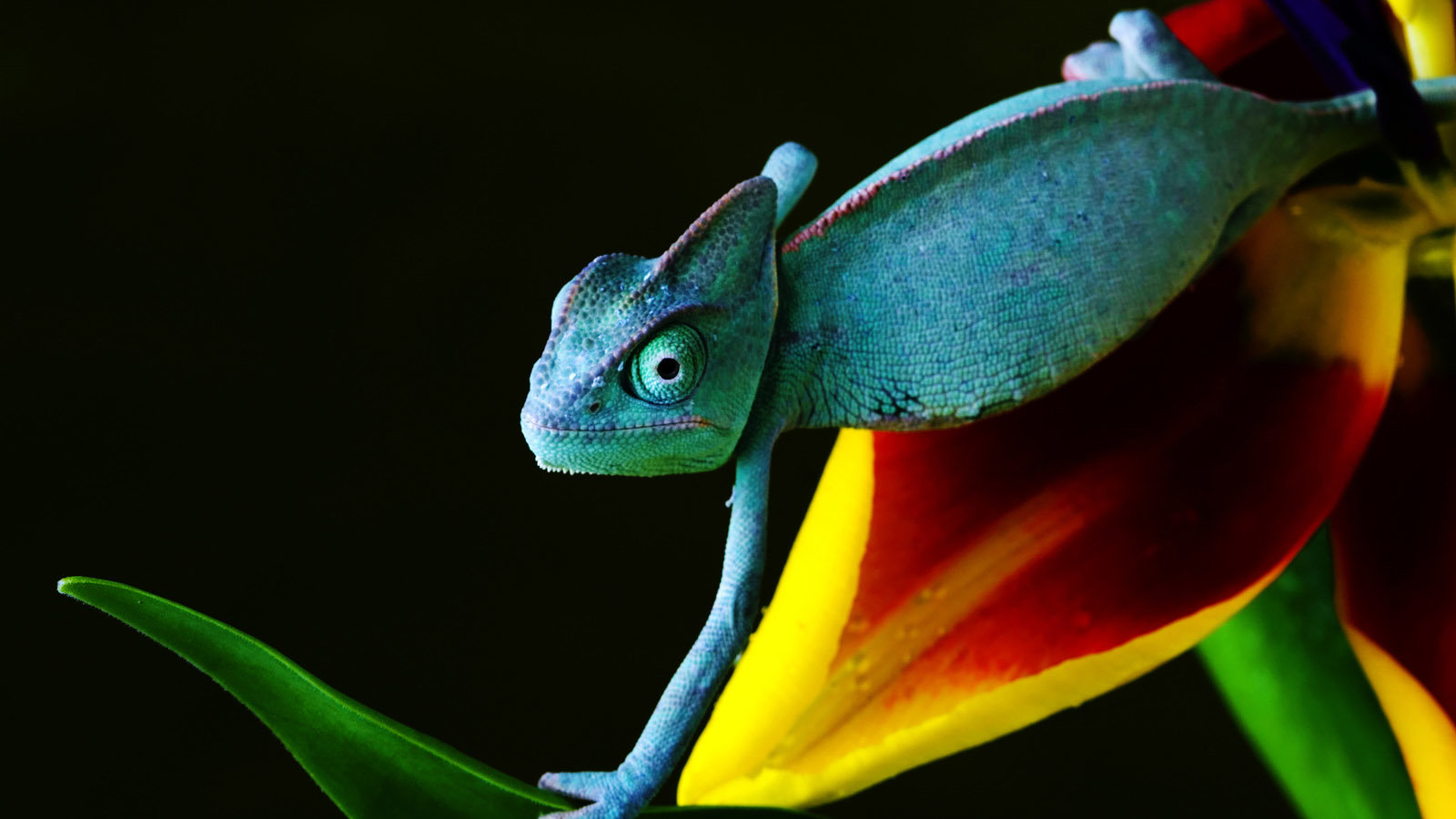 High resolution Chameleon hd 1600x900 wallpaper ID:462562 for computer
