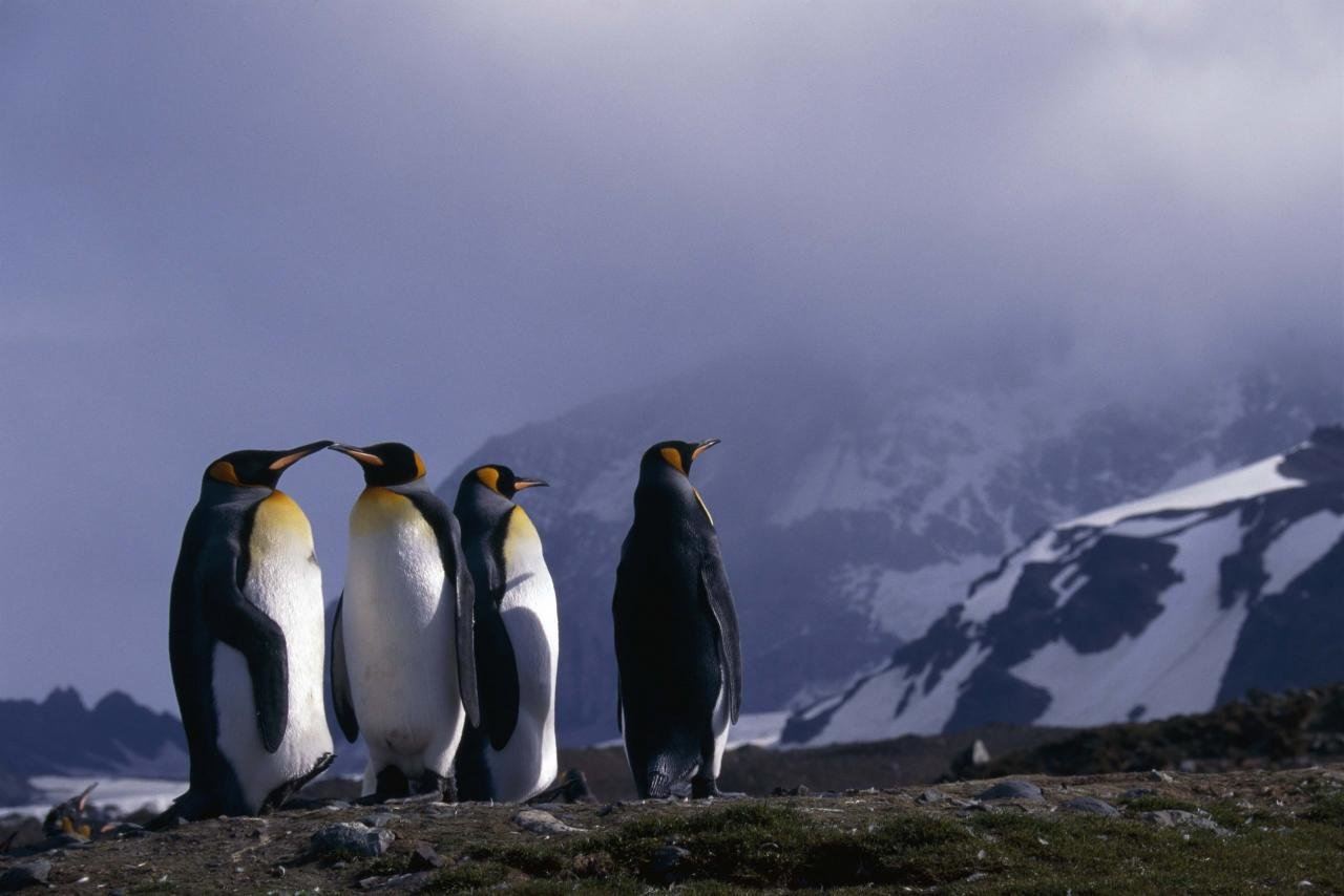 Best Emperor Penguin wallpaper ID:47920 for High Resolution hd 1280x854 PC