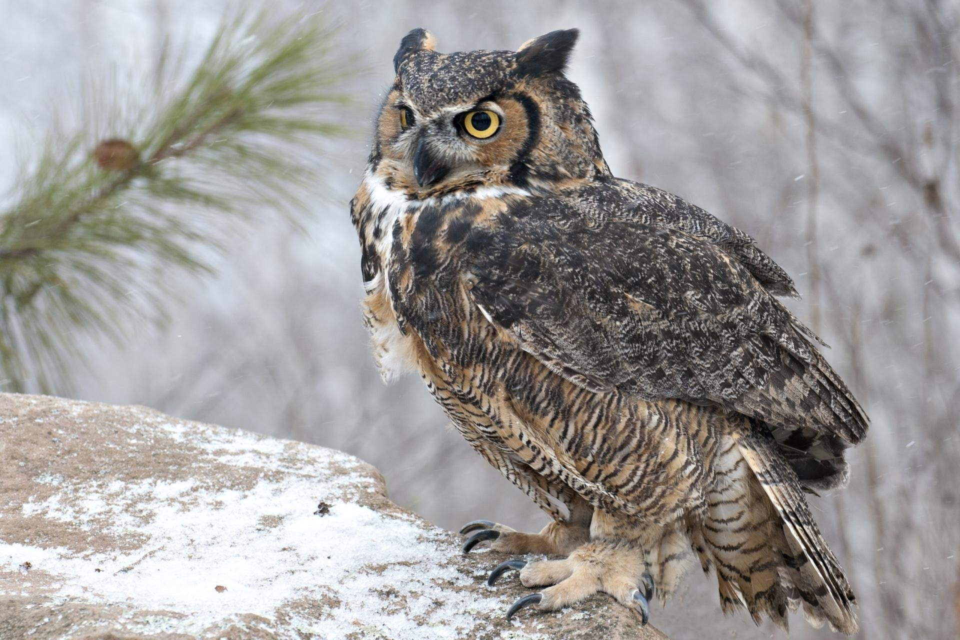 Free Great Horned Owl high quality background ID:297775 for hd 1920x1280 desktop