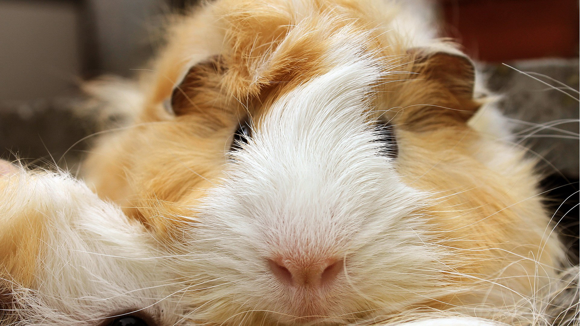 Awesome Guinea Pig free background ID:270983 for full hd PC