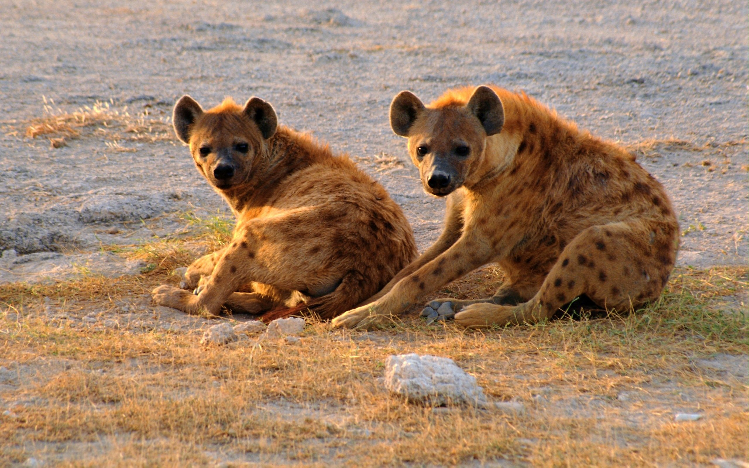 Free download Hyena wallpaper ID:239232 hd 2560x1600 for computer