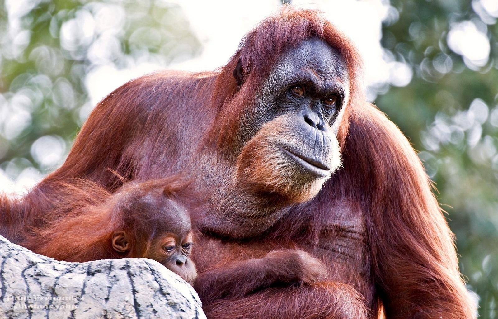 Free Orangutan high quality background ID:70059 for hd 1600x1024 desktop