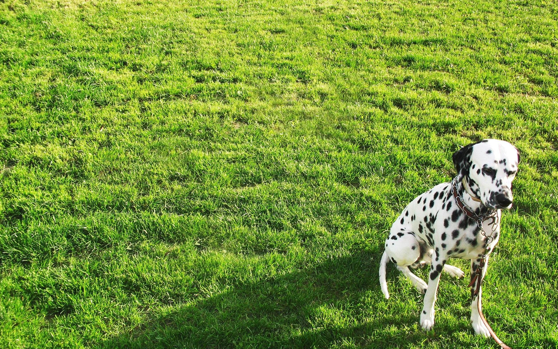 High resolution Dalmatian hd 1920x1200 background ID:433544 for PC