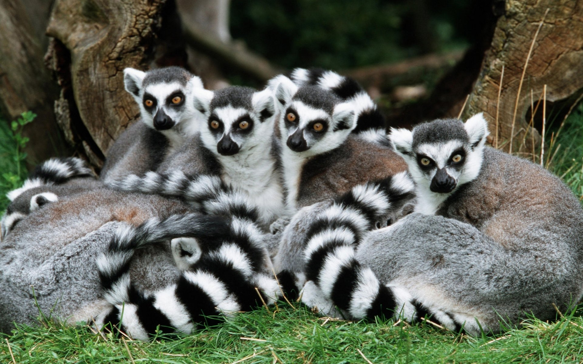 Free download Lemur wallpaper ID:53152 hd 1920x1200 for computer