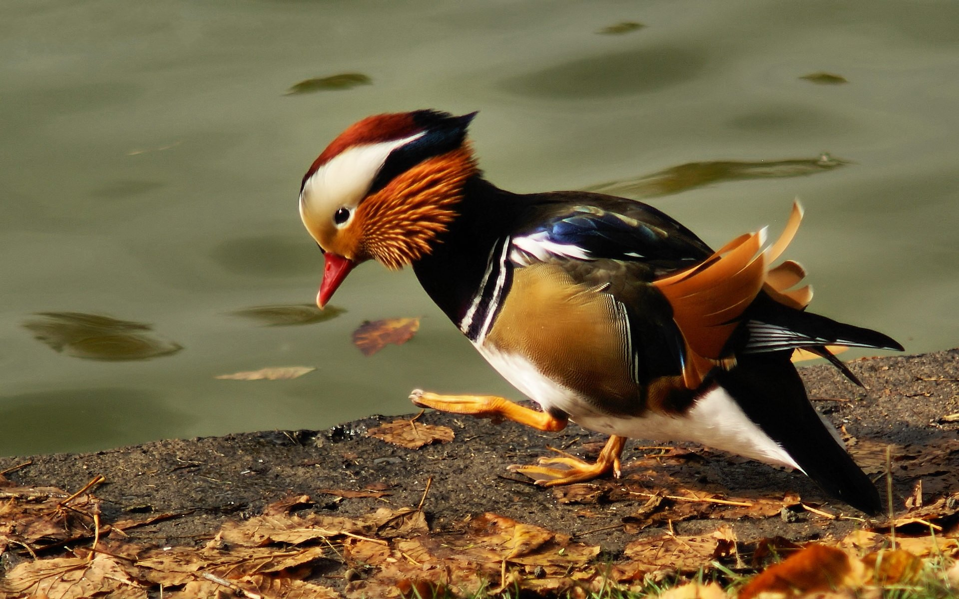 High resolution Mandarin Duck hd 1920x1200 background ID:100770 for desktop