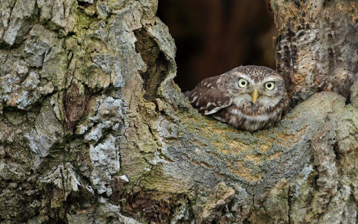 High resolution Owl hd 1440x900 background ID:237182 for PC