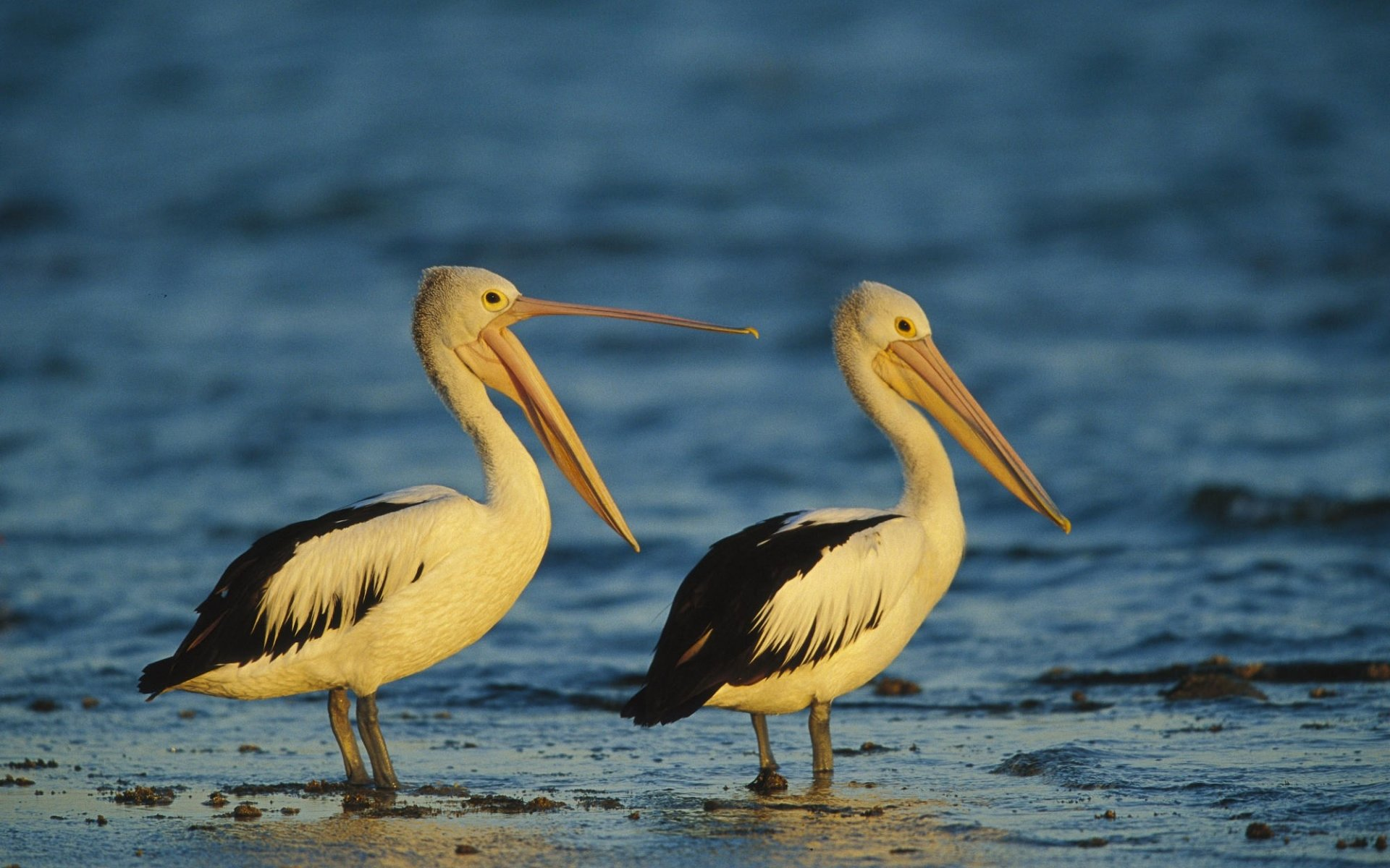 Free Pelican high quality background ID:189555 for hd 1920x1200 desktop