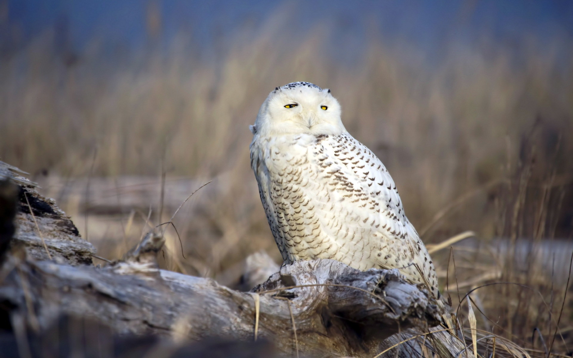 Download hd 1920x1200 Snowy Owl PC background ID:26810 for free