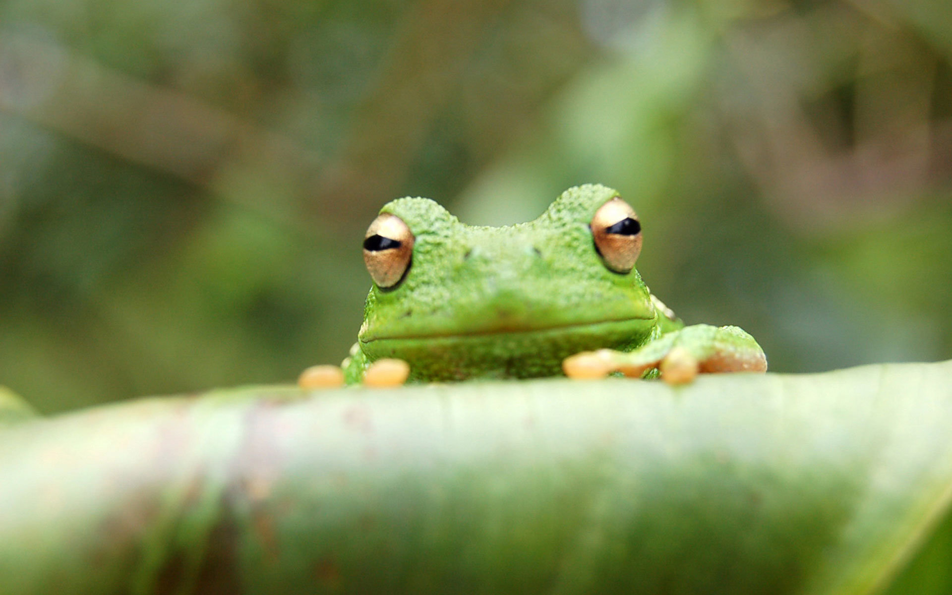 High resolution Tree Frog hd 1920x1200 wallpaper ID:385869 for PC
