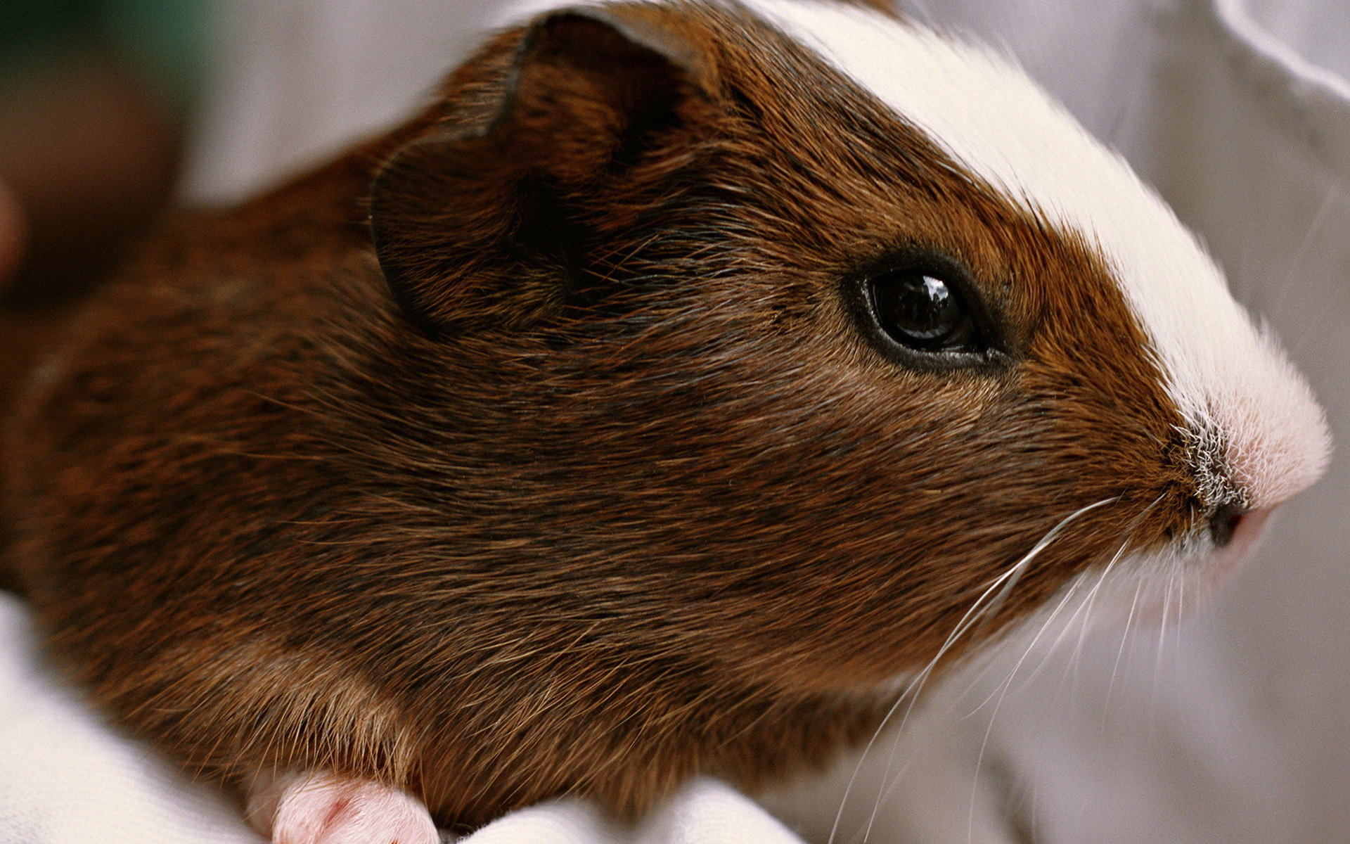 Free Guinea Pig high quality background ID:270981 for hd 1920x1200 computer