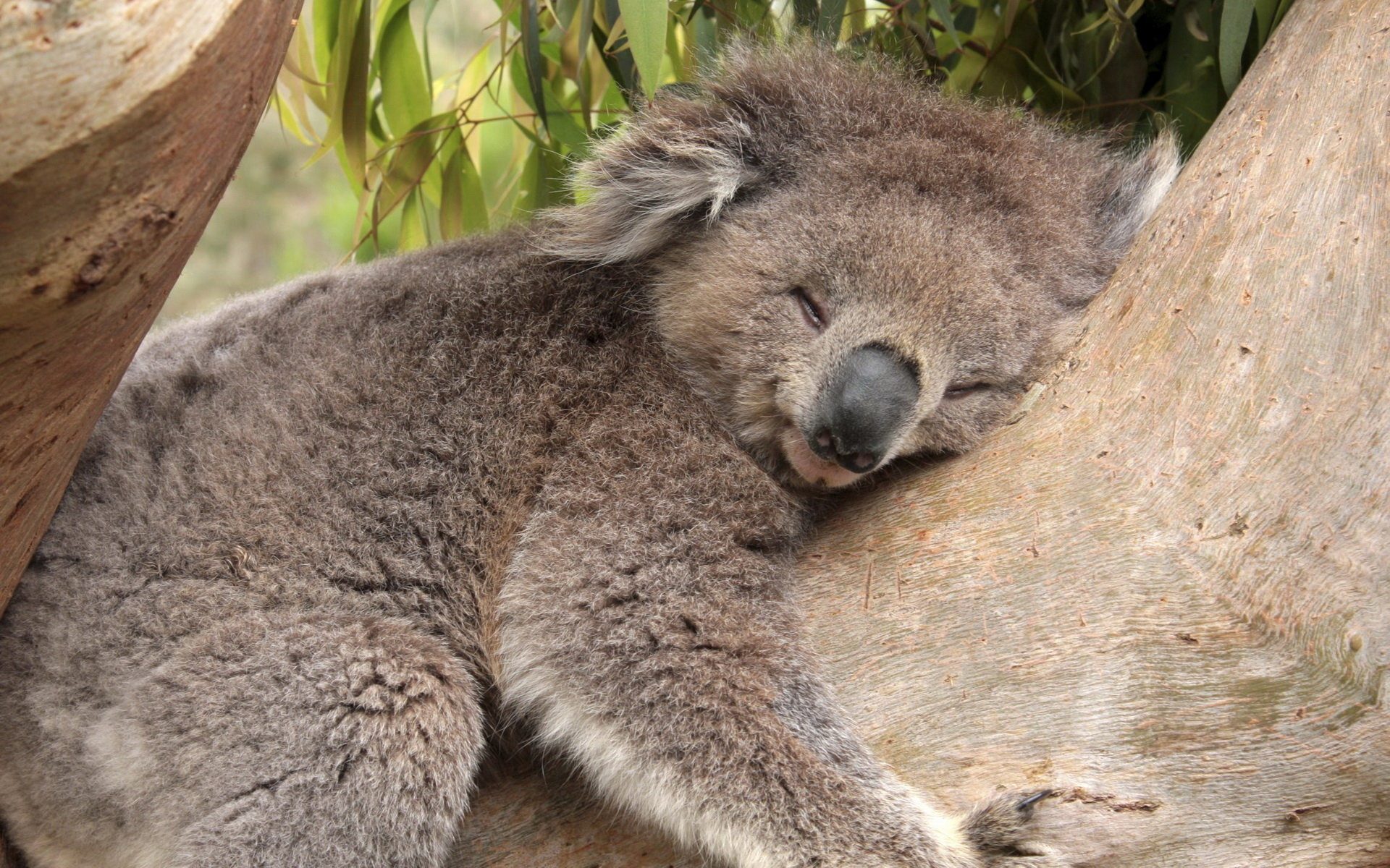 Download hd 1920x1200 Koala computer background ID:74263 for free
