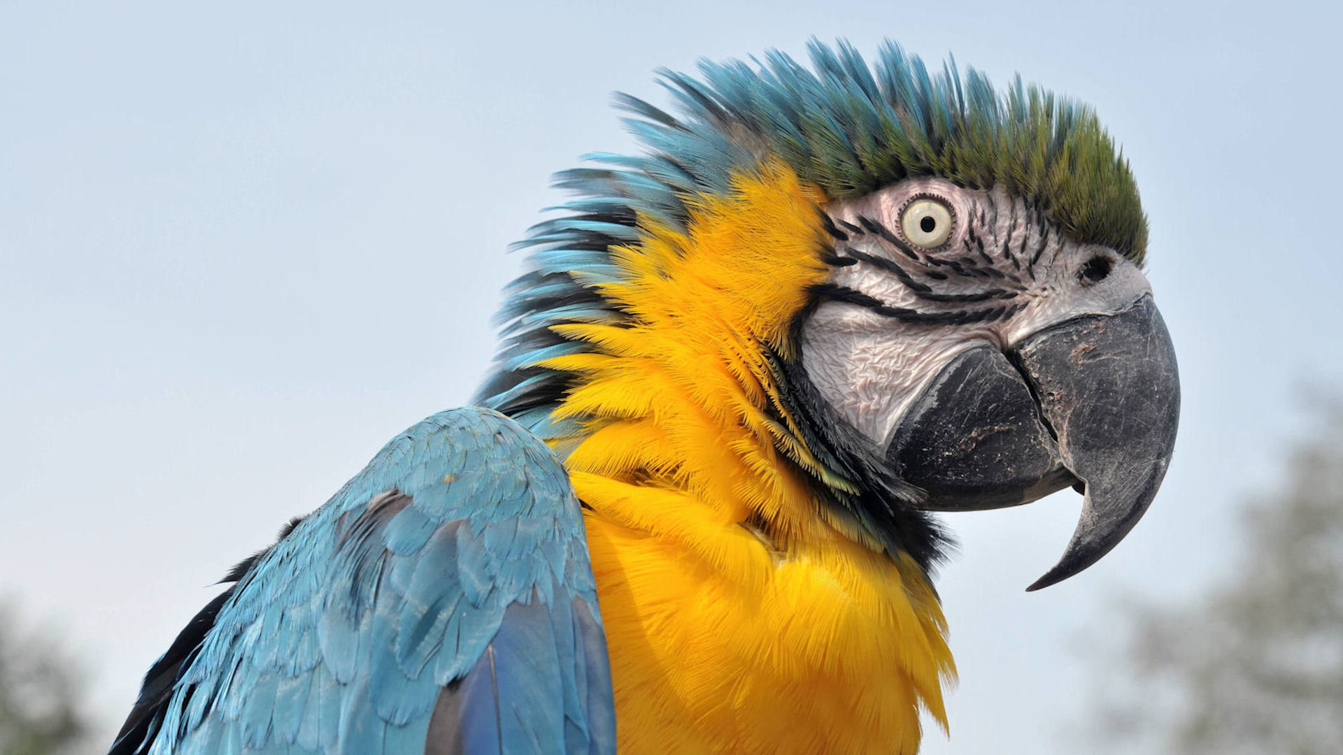 Download full hd Macaw PC background ID:46494 for free