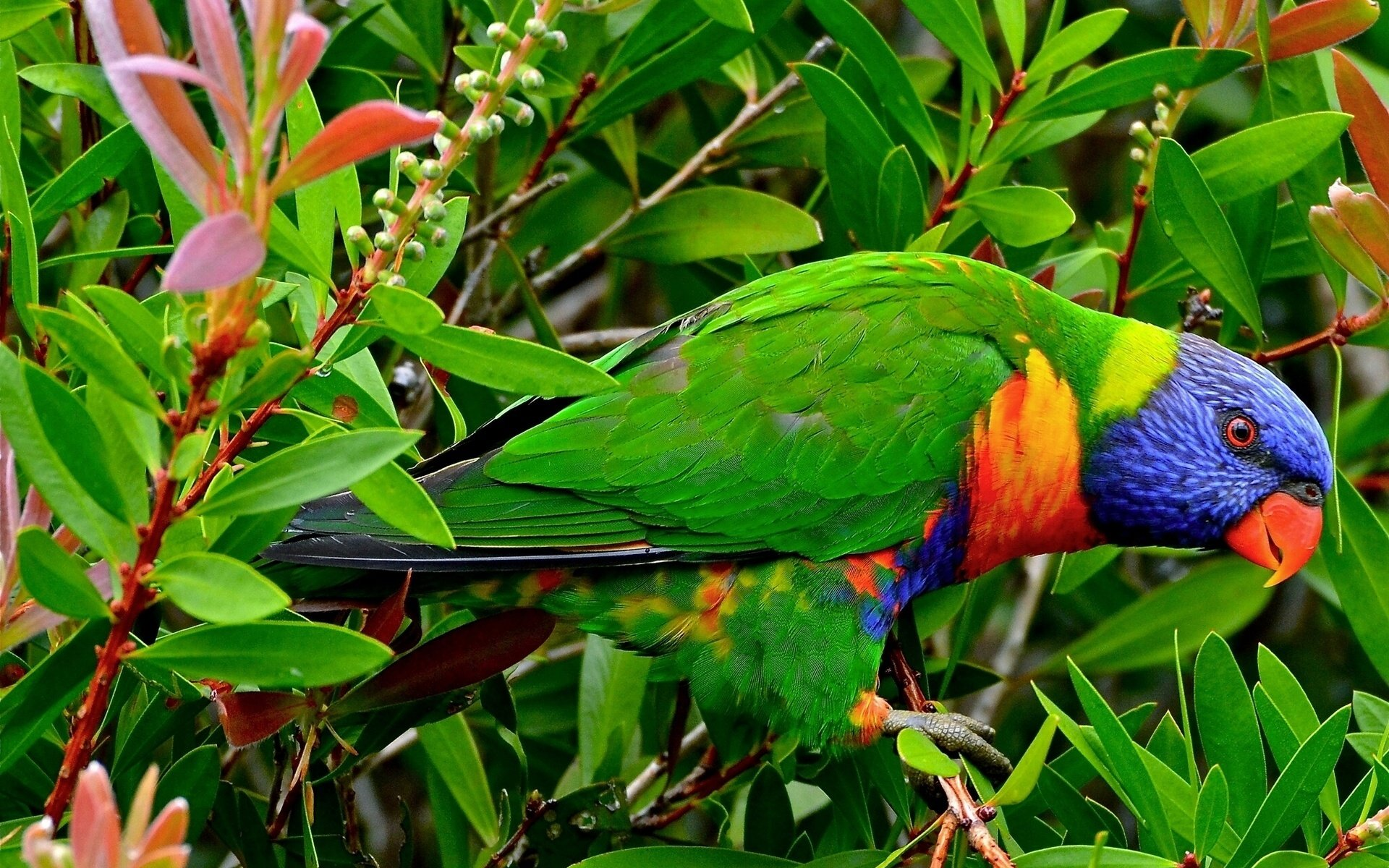 High resolution Rainbow Lorikeet hd 1920x1200 background ID:10132 for PC