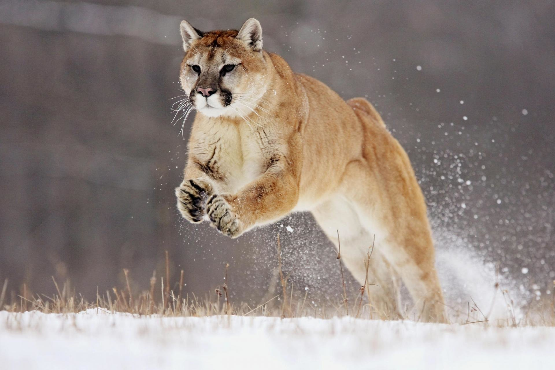 Download hd 1920x1280 Cougar computer background ID:81724 for free