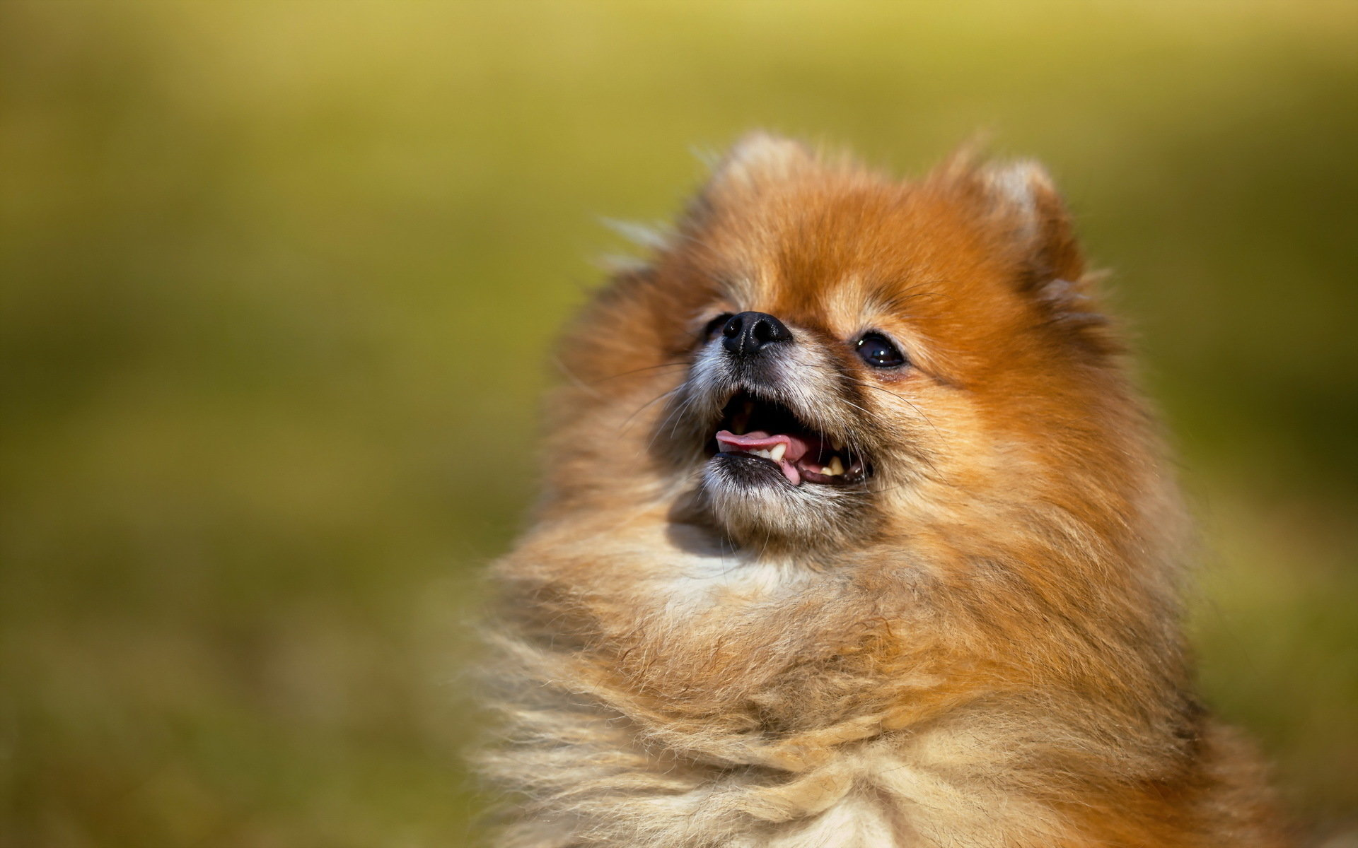 High resolution Pomeranian hd 1920x1200 background ID:184954 for PC