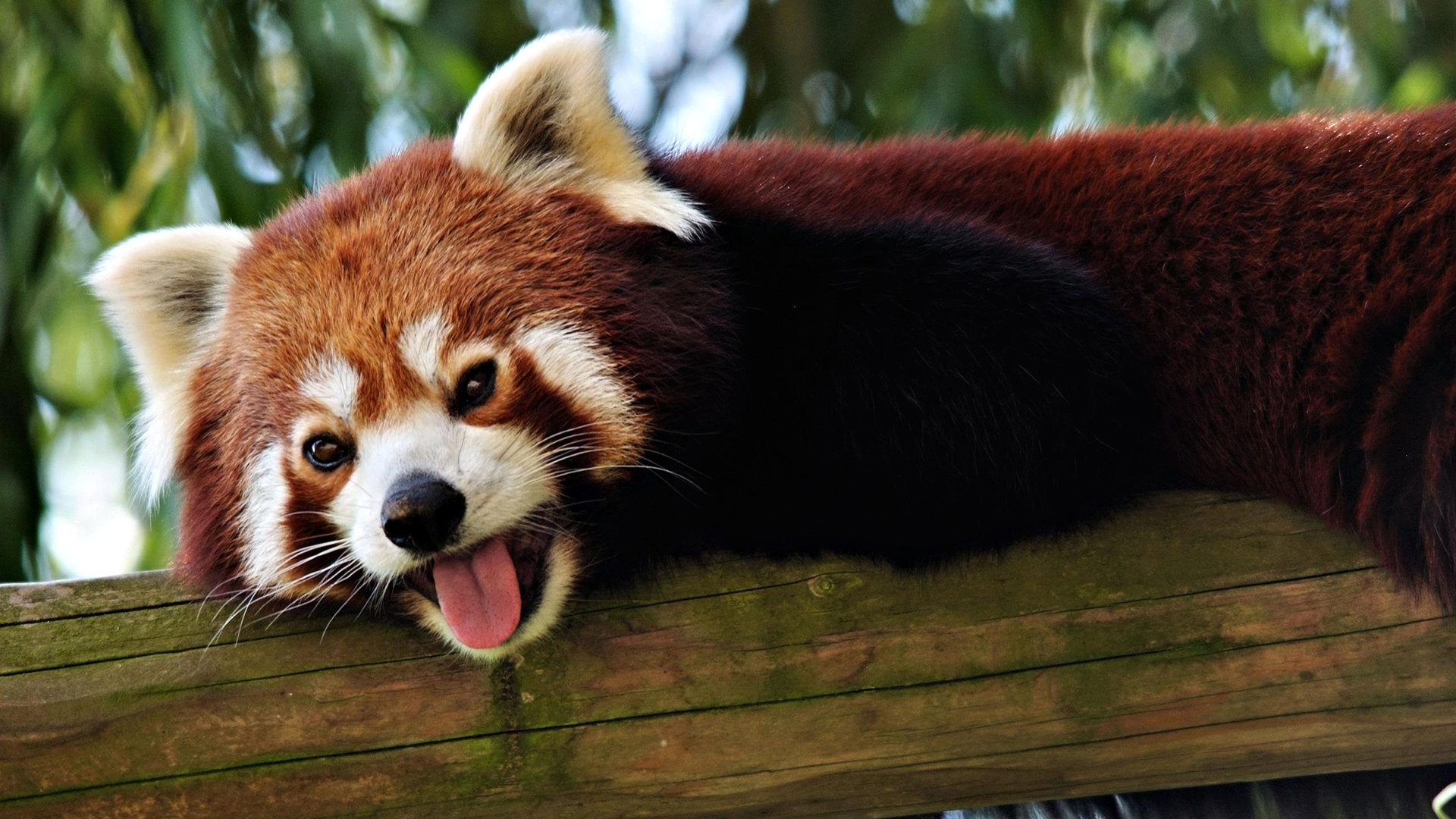 Free download Red Panda wallpaper ID:63994 hd 1920x1080 for PC