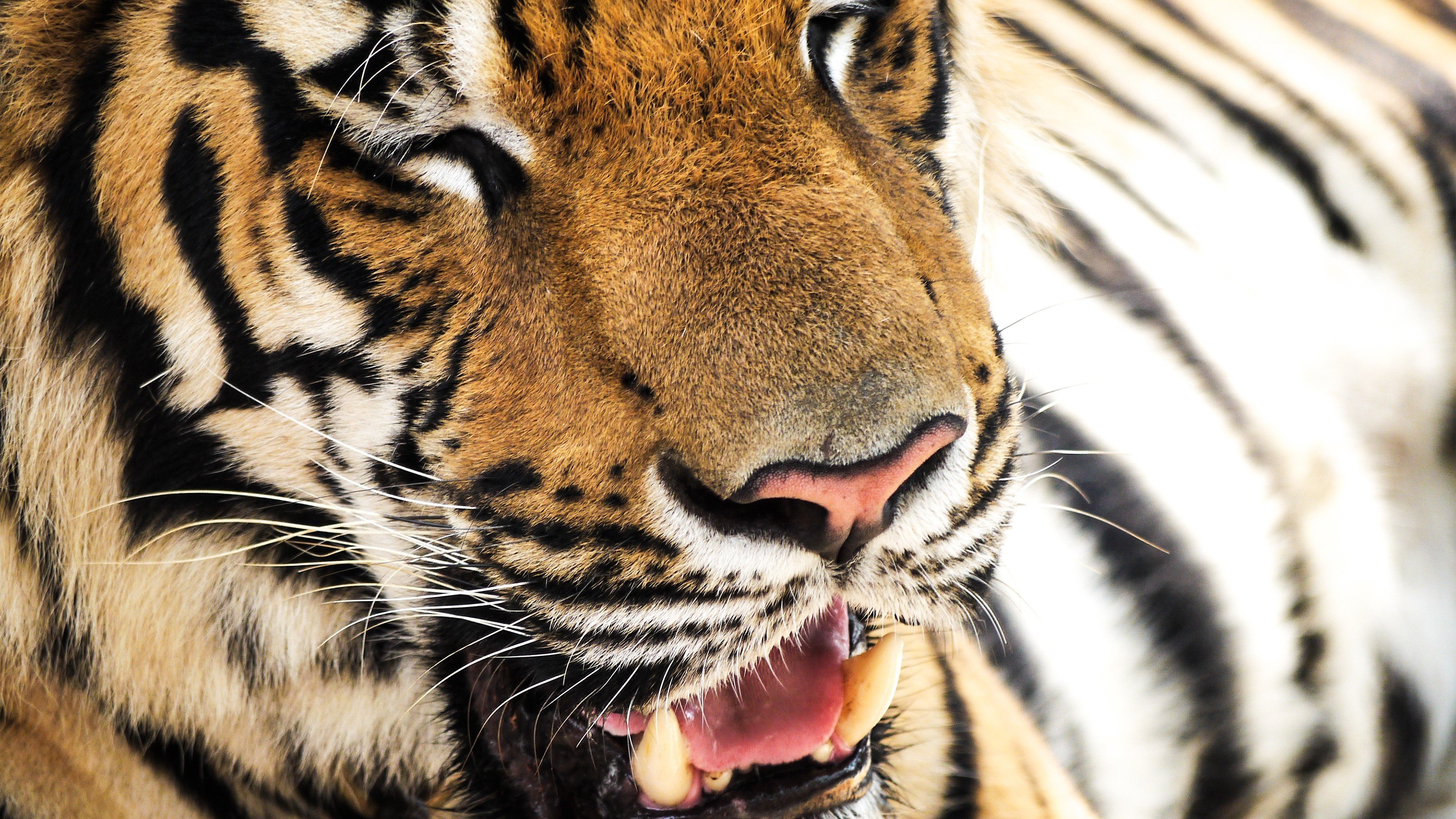 Best Tiger background ID:115986 for High Resolution ultra hd 4k PC