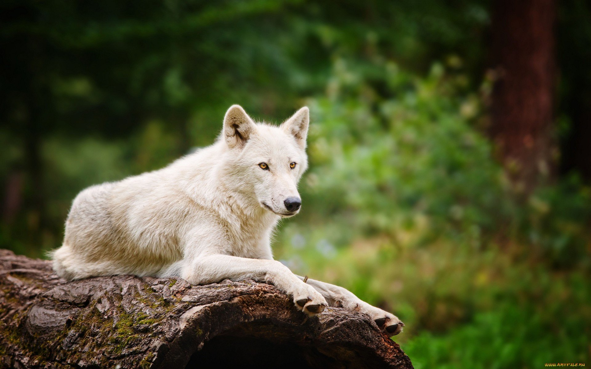 Free Arctic Wolf high quality background ID:233914 for hd 1920x1200 desktop